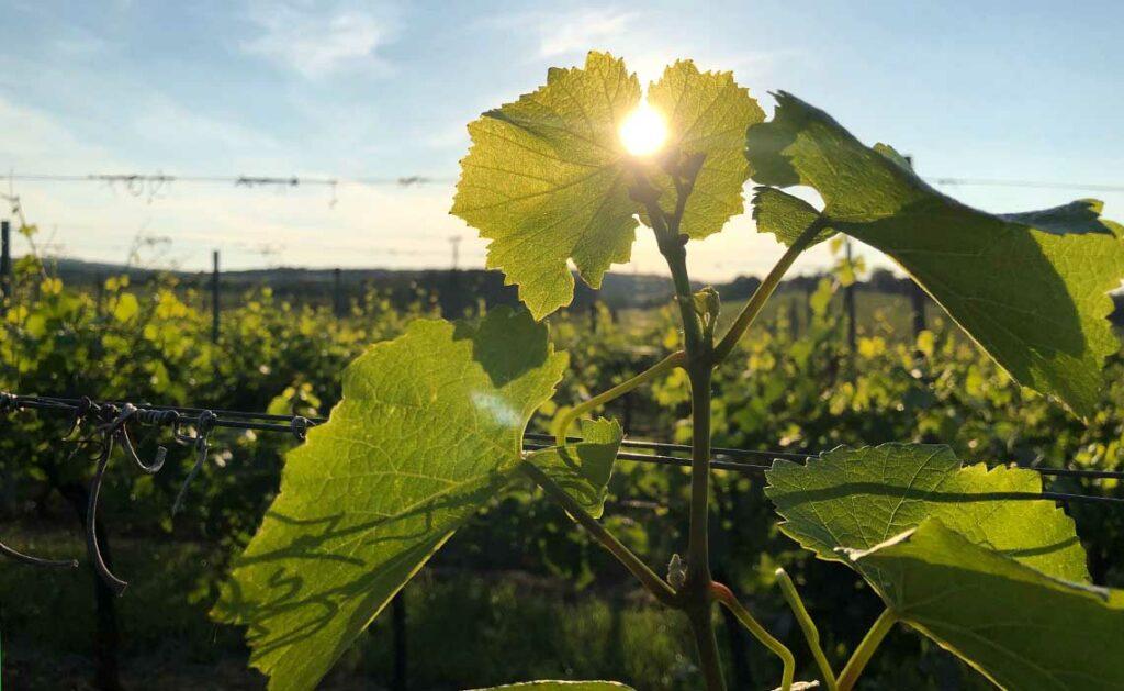 Sunset in de wijnvelden Zuid Moravie - Tekstenwereld